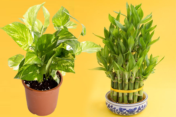 Vastu tips for trees and plants woman odisha - Good flowering house plants ...