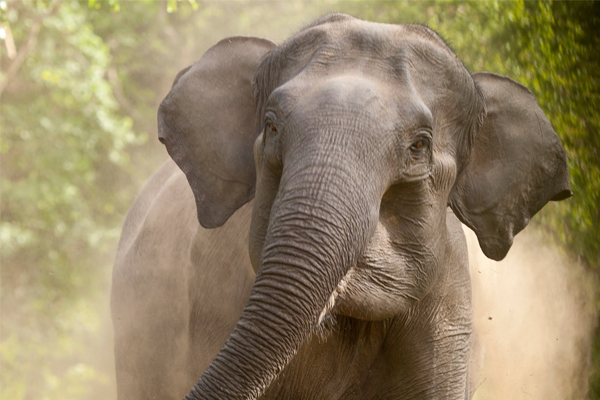 Elderly woman trampled to death by tusker in Sundargarh